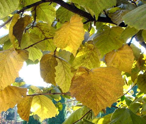 Mogyoró levelek visszér kezelésére Rugalmas zokni harisnya visszerek
