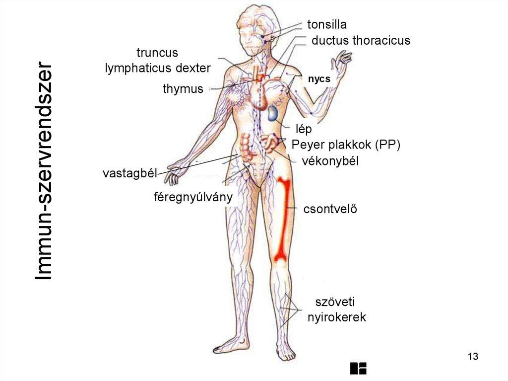 Lymphodrainage lábmasszázs lymphostasis (elephantiasis)