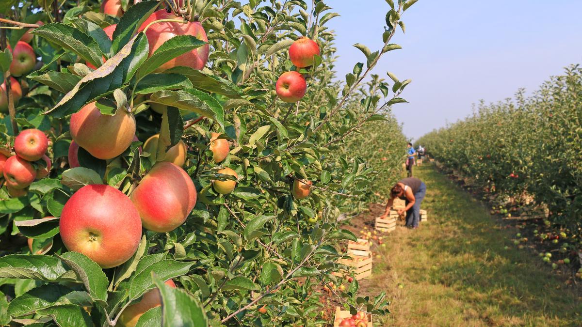 visszér Ádám alma