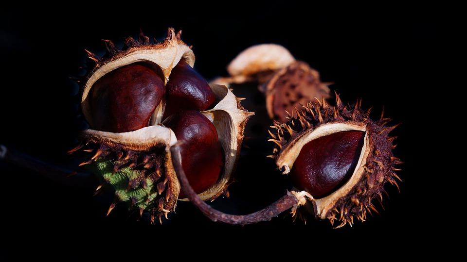 gesztenye gyümölcs főzete visszérből