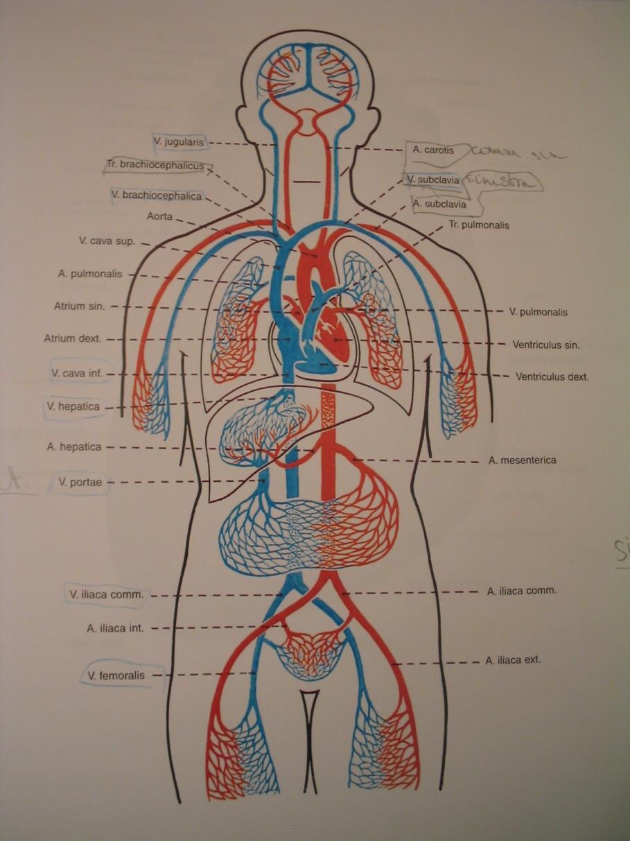 mucosat és visszér