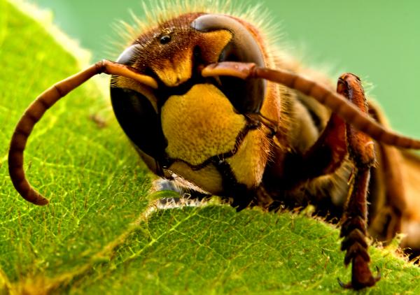 méhek és visszér