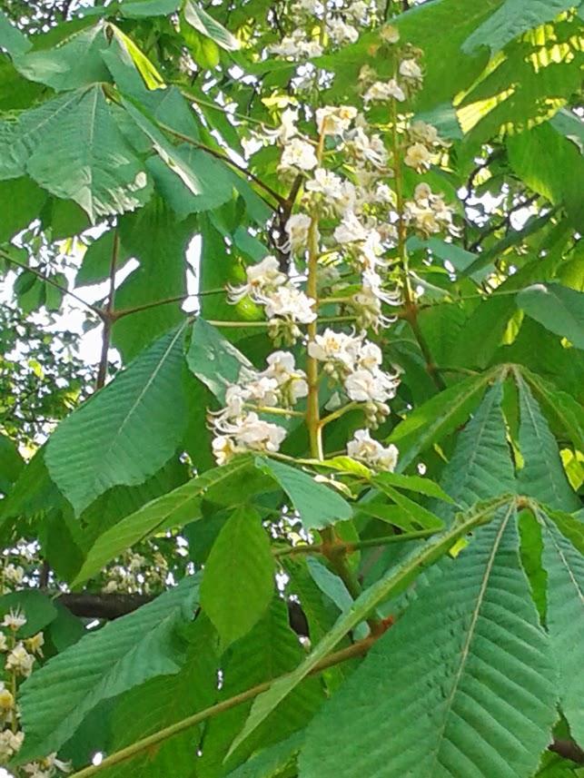 fa tetű gyógynövény a visszér ellen
